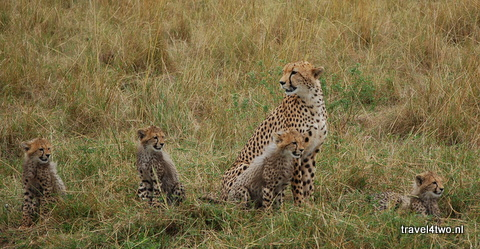 120909j_cheetah_4cubs_DSC_8163